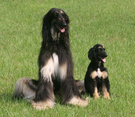 Purebred Breeders LLC dog cloning